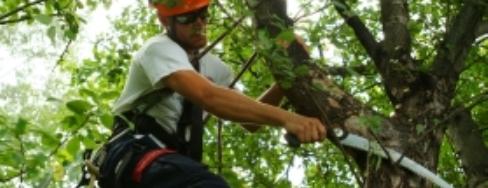 Arbator will prune to eliminate hazardous branches